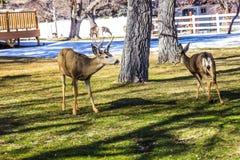 Junge Rotwild und Buck Grazing In Winter lizenzfreie stockfotos