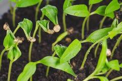 Junge Sämlinge des Gemüsepaprikas mit Wassertropfen stockfotos