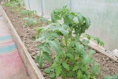 Junge Sämlinge von Tomaten im Gewächshaus Stockbild