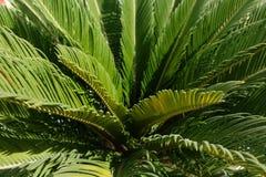 Junge Sagopalme in Oman, Salalah Stockfoto