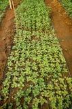 Junge Samen Chrysanthemenanlage innerhalb des Gewächshauses lizenzfreies stockbild