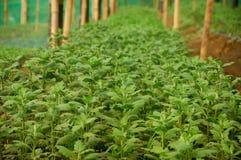 Junge Samen Chrysanthemenanlage innerhalb des Gewächshauses stockfotografie