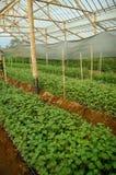 Junge Samen Chrysanthemenanlage innerhalb des Gewächshauses lizenzfreie stockbilder