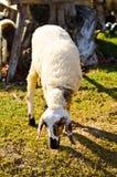 Junge Schafe, die Gras im Bauernhof essen Stockbilder