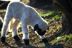 Junge Schafe, die oben stehen Lizenzfreies Stockbild