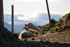 Junge Schafe mit Mutter Lizenzfreie Stockfotos