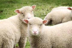 Junge Schafe, welche die Kamera betrachten Lizenzfreie Stockbilder
