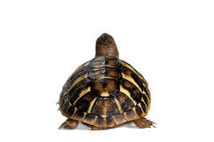 Junge Schildkröte Lizenzfreie Stockbilder