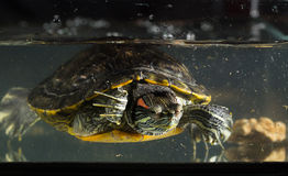 Junge Schildkröte Stockbild