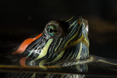 Junge Schildkröte Lizenzfreies Stockbild
