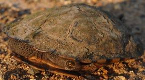 Junge Schildkröte im Shell Stockbild