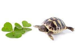 Junge Schildkröte und Klee lizenzfreie stockfotografie