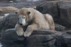 Junge schmutzige polare betreffen einen Felsen lizenzfreies stockbild