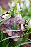 Junge Schneeglöckchen keimten durch alte gefallene Blätter Nichts i Lizenzfreie Stockfotografie