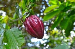 Junge Schokoladen-Kakao-Frucht auf Baum Stockfoto