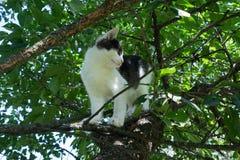 Junge Schwarzweiss-Katze auf Kirschbaumniederlassung unter grünem Laub Bereiten Sie vor, um zu springen Ansicht von unten stockbild