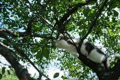 Junge Schwarzweiss-Katze auf Kirschbaumniederlassung unter grünem Laub Bereiten Sie vor, um zu springen Ansicht von unten lizenzfreies stockbild