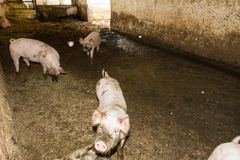 Junge Schweine Lizenzfreie Stockfotografie