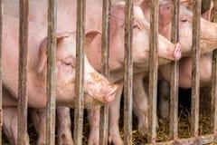 Junge Schweine Lizenzfreie Stockbilder