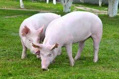 Junge Schweine Stockbild