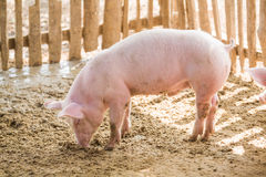 Junge Schweine auf dem Bauernhof Lizenzfreies Stockbild