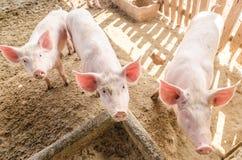Junge Schweine auf dem Bauernhof Stockbilder
