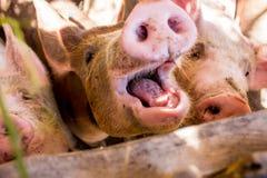 Junge Schweine auf dem Bauernhof Stockbild