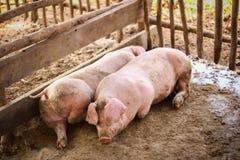 Junge Schweine gelegt in hölzernen Käfig Lizenzfreie Stockfotos