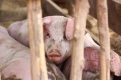Junge Schweine gelegt in hölzernen Käfig Stockfoto
