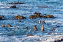 Junge Seelefanten Lizenzfreies Stockbild
