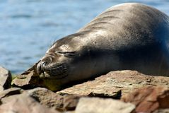 Junge Seelefanten Grytviken Lizenzfreie Stockfotografie