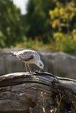 Junge Seemöwe, die catched Fische isst Lizenzfreie Stockfotos