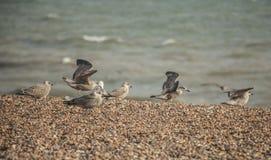 Junge Seemöwen und das blaue Meer, Brighton Stockbilder