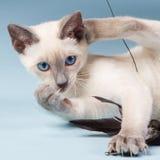 Junge siamesische Katze, die mit Federn spielt Stockbilder