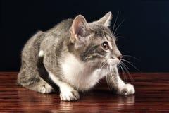 Junge silberne Tabby Kitten Cat Looking Lizenzfreie Stockfotografie