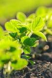 Junge Sojabohnenanlagen, die auf dem bebauten Gebiet wachsen Lizenzfreies Stockfoto