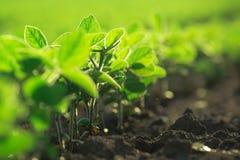 Junge Sojabohnenanlagen, die auf dem bebauten Gebiet wachsen Stockfotos