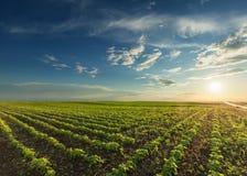 Junge Sojabohnenernten bei idyllischem Sonnenuntergang stockfotografie