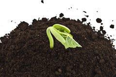Junge Sojabohnensprosse, die auf Boden wächst Stockfotos