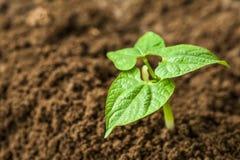 Junge Sojabohnensprosse lizenzfreies stockbild