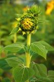 Junge Sonnenblume. Stockfoto
