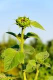 Junge Sonnenblume Lizenzfreies Stockfoto