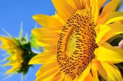 Junge Sonnenblumen blühen auf dem Gebiet gegen einen blauen Himmel Stockfotografie