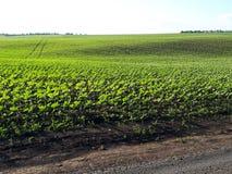 Junge Sprösslinge der Sonnenblume auf dem Feld, Frühlingskonzept lizenzfreies stockbild
