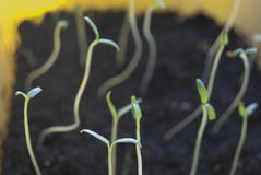 Junge Sprösslinge der Tomate werden zum Licht gezeichnet Stockbild