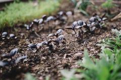 Junge Sprösslinge des Basilikums und des Arugula im Garten, wachsende Gewürze Organische Blattgemüsegartenarbeit lizenzfreie stockbilder