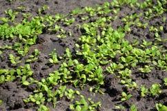 Junge Sprösslinge des Salats im Garten auf dem Sonnenschein, dicht gepflanzt lizenzfreie stockbilder