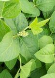 Junge Sprösslinge des Sojabohnenfeldes, die Blätter blühen stockbilder