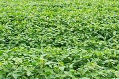 Junge Sprösslinge des Sojabohnenfeldes, die Blätter blühen lizenzfreies stockbild