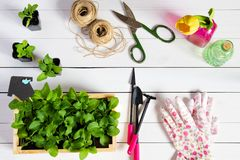 Junge Sprösslinge, Trieb, Sämling, Schössling in einer Holzkiste mit Deckel und Gartenwerkzeuge Flache Lage stockbilder